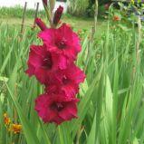 gladiolus-glaieul-fidelio-rouge-MayasGardenJournal-ld-55608-1