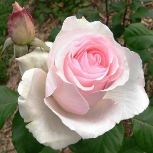La pleine saison des roses est un peu en avance cette annÈe :4: Qui s'en plaindra :5: Personnellement je ne m'en lasse pas :17: